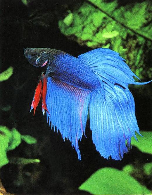 SiameseFightingFish[1]
