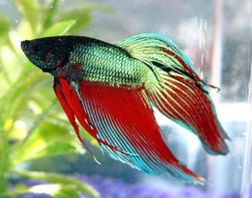siamese_fighting_fish3[1]
