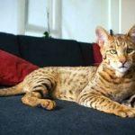 世界一高価で大柄なイエネコ『アシェラ(Ashera)』【サーバル×ベンガル山猫】
