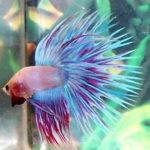 【熱帯魚】あまりにも美しいベタの画像集【アクアリウム】